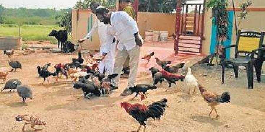 In response to the call, the hens are seen rushing towards him, and he feeds the birds.