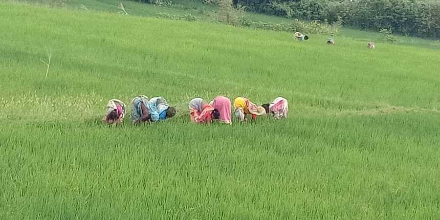 paddy fields, farmers, paddy