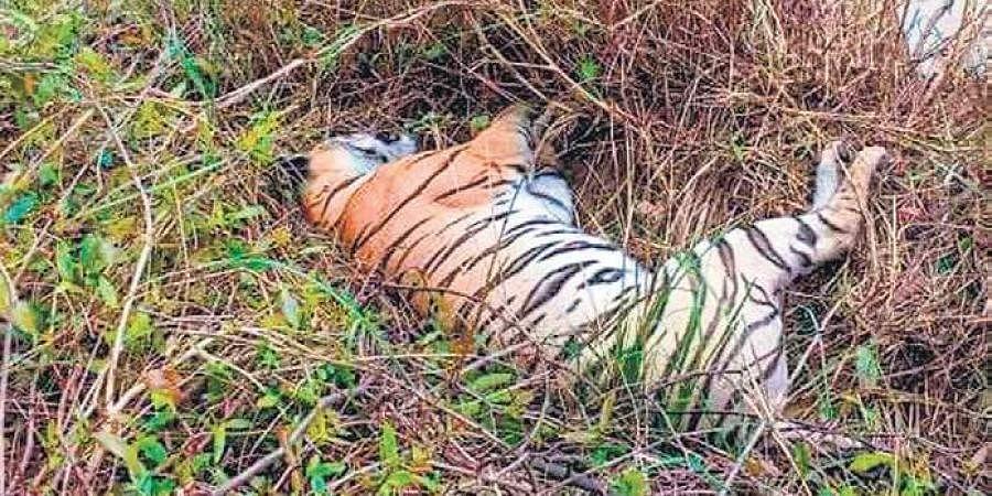 Wildlife, tigress, tiger