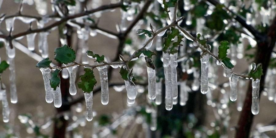 Icicles are seen on the branches of a tree.