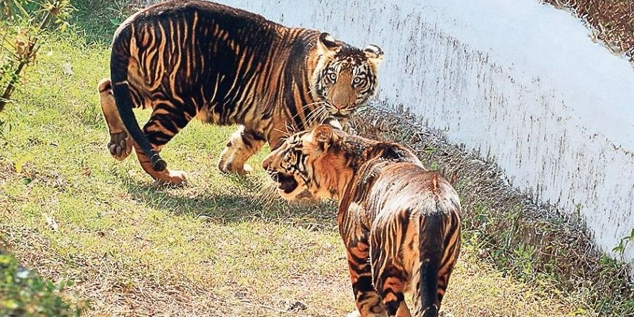 Two melanistic tiger cubs released in an enclosure at Nandankanan for the first time in Bhubaneswar on Sunday