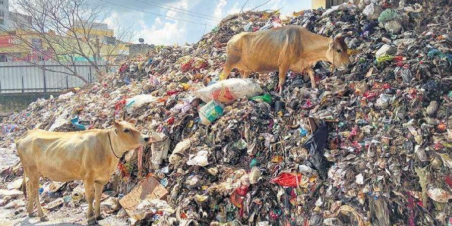 Cows nibbling piles on segregated waste accumulated over months.