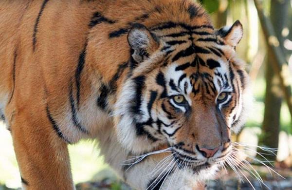 Four Sumatran tiger foetuses found in jar in Indonesia, 5 held