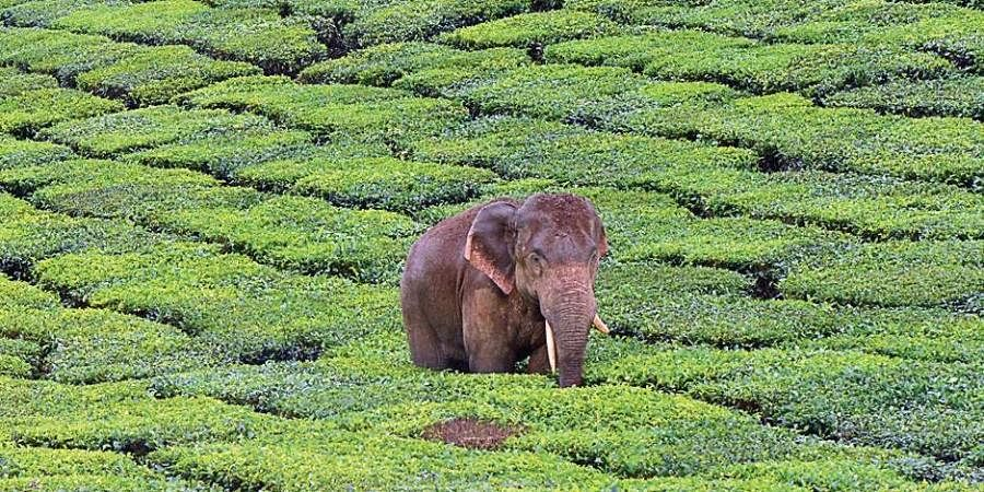 Wildlife Biologists In Tea Estates Explore Safer Ways To Share Spaces With Wildlife