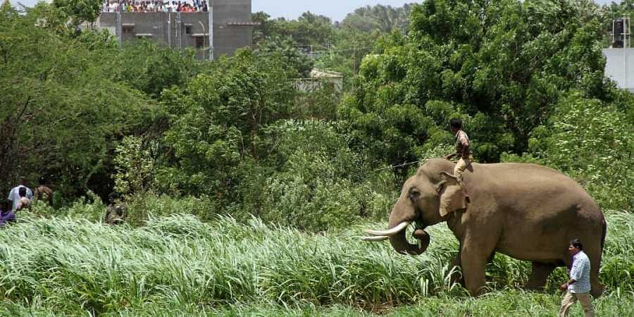 Kumki elephant Paari and its mahout take part in the effort to shoot the wild elephant with a tranquiliser so that it can be shifted from the residential area and released back into the wild where it belongs. (Prakash Chellamuthu | Express Photo Service)