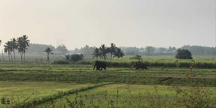 Chinna Thambi's leisurely sojourn ends, he will be held captive at Varagaliyar elephant camp