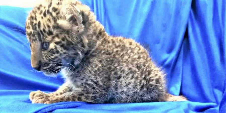 One-month-old leopard cub seized from passenger's bag at Chennai airport