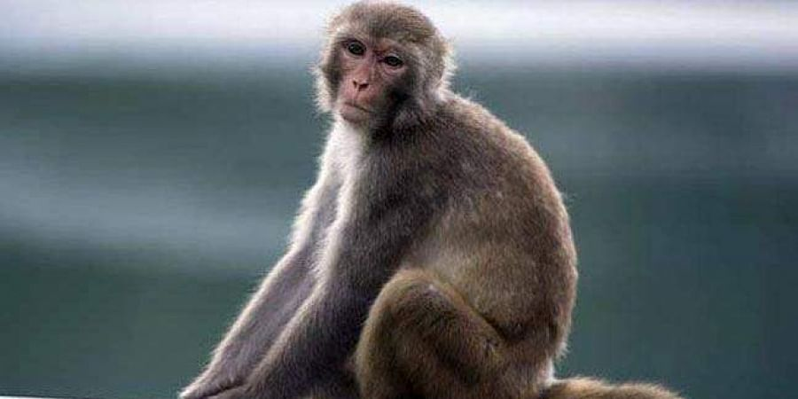 Monkey photo used for representational purpose only. (Photo | PTI)