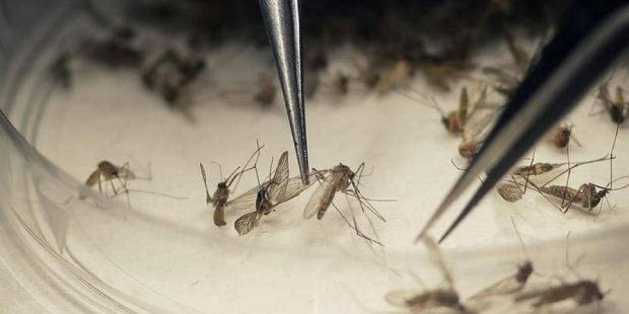 mosquito, infection, mosquitoes