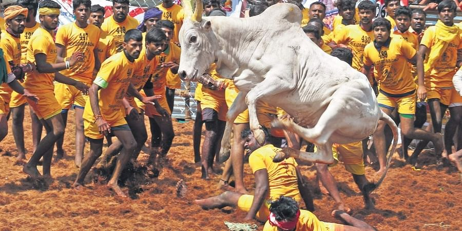 The media attention of 2017 has also led to newer official arenas springing up for Jallikattu.