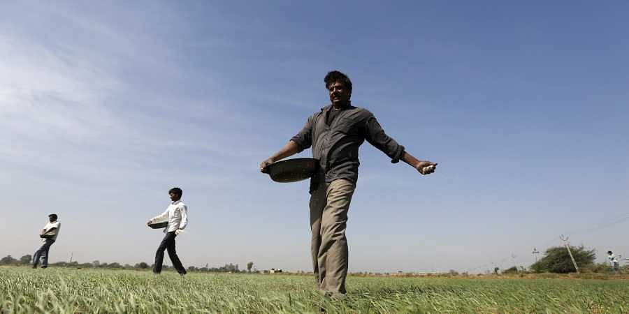 Farmers sprinkle fertilizer on a wheat field on the outskirts of Ahmedabad