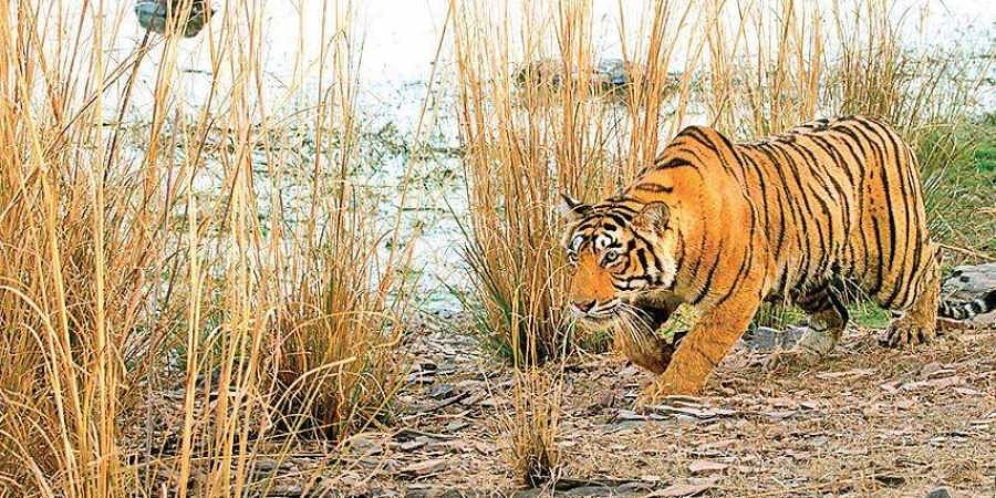 Tiger conflict to rise in Nagarhole-Bandipur- The New Indian Express