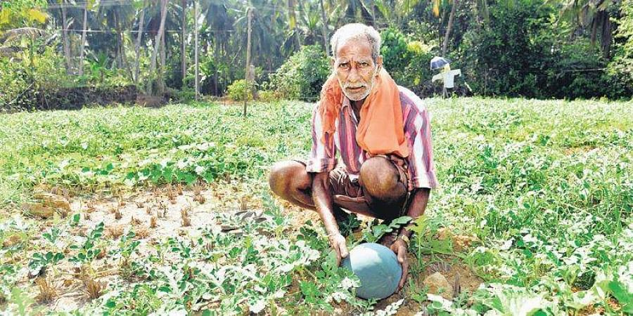 50 families have turned their paddy farms into watermelon plantations.
