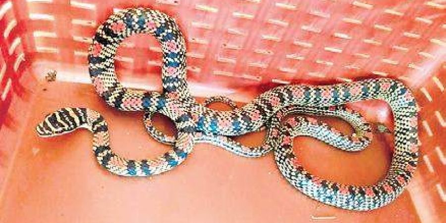 The snake that was rescued  in Malpe