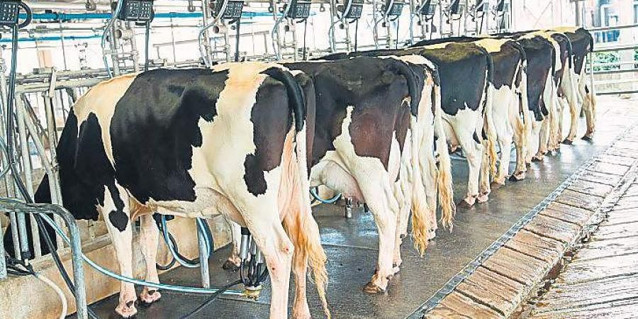 As per the data of the Animal Husbandry Department, there are 52 lakh buffaloes and 21 lakh cows in Punjab, of which 70 per cent produce milk