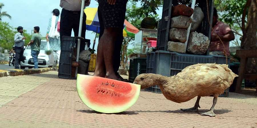 duck watermelon heat heatwave summer
