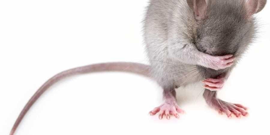Rat, Mice, Mouse