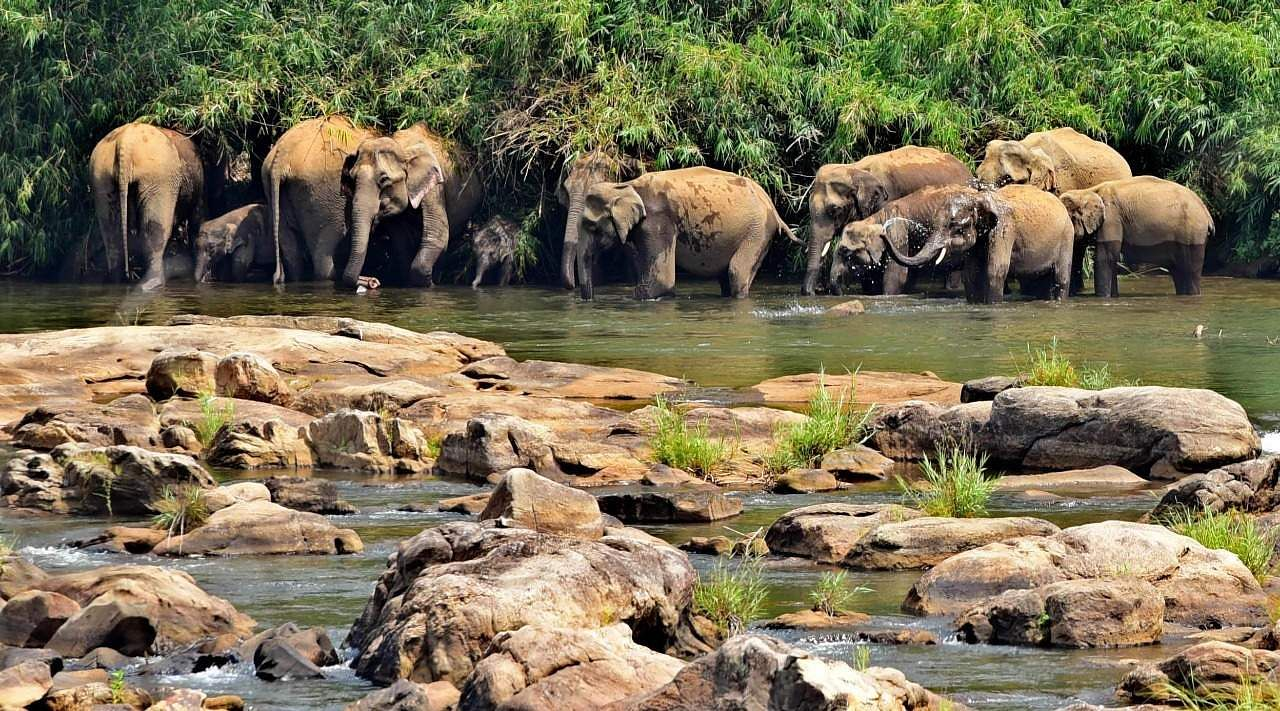 Facing drying water bodies, elephants in the Vazhachal forest division depend on the Chalakudi river, whose waters are released from the Peringalkuthu dam in Kerala's Thrissur. (Photo | Albin Mathew, EPS)