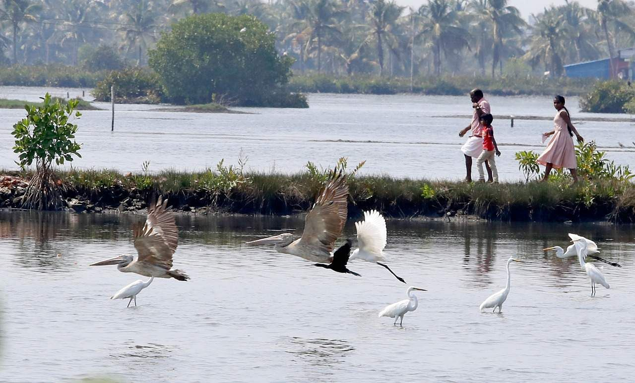 Herons and pelicans scavenging for food, which has been made easy due to the receding water levels in fields. A scene from Kandakkadavu in Kochi.( Photo | Arun Angela, EPS)