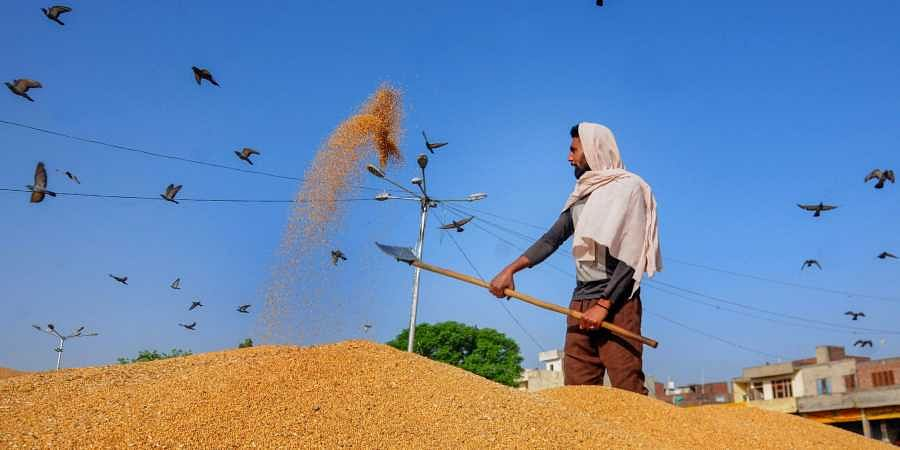 A farm worker winnows wheat as she works at a grain market in Amritsar. (Photo | PTI)