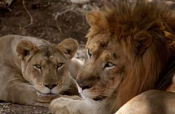 Man mauled to death by lion in Gujarat's Gir forest area
