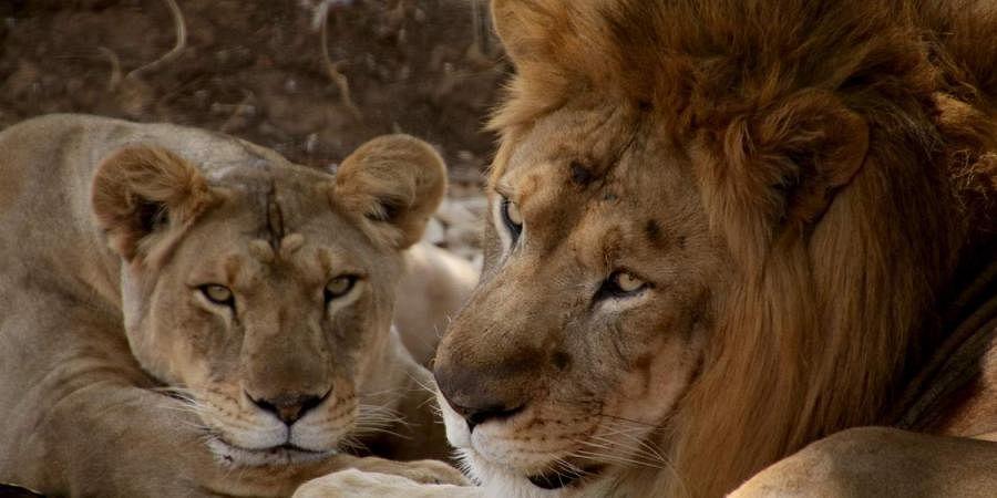 A lion and lioness resting in shade in Shivamogga's Tyavarekoppa Lion and Tiger Safari. (Shimoga Nandan | EPS)