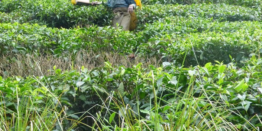 tea estate, tea gardens