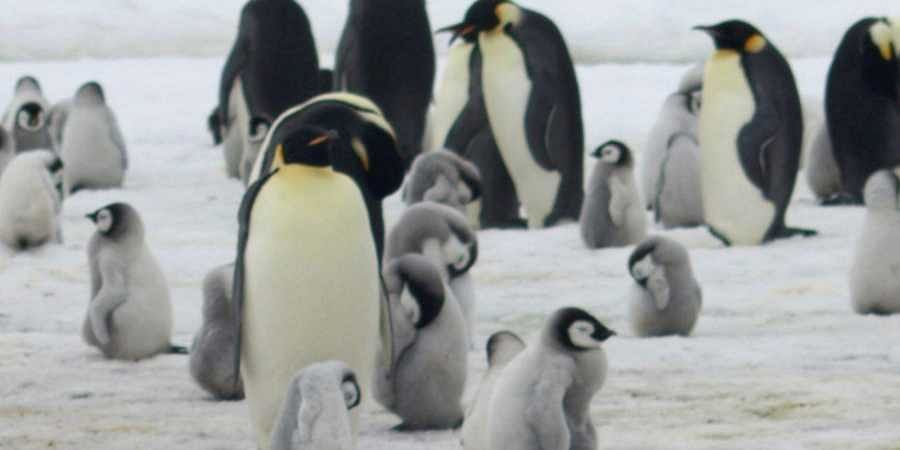 mperor penguins and chicks at Antarctica's Halley Bay