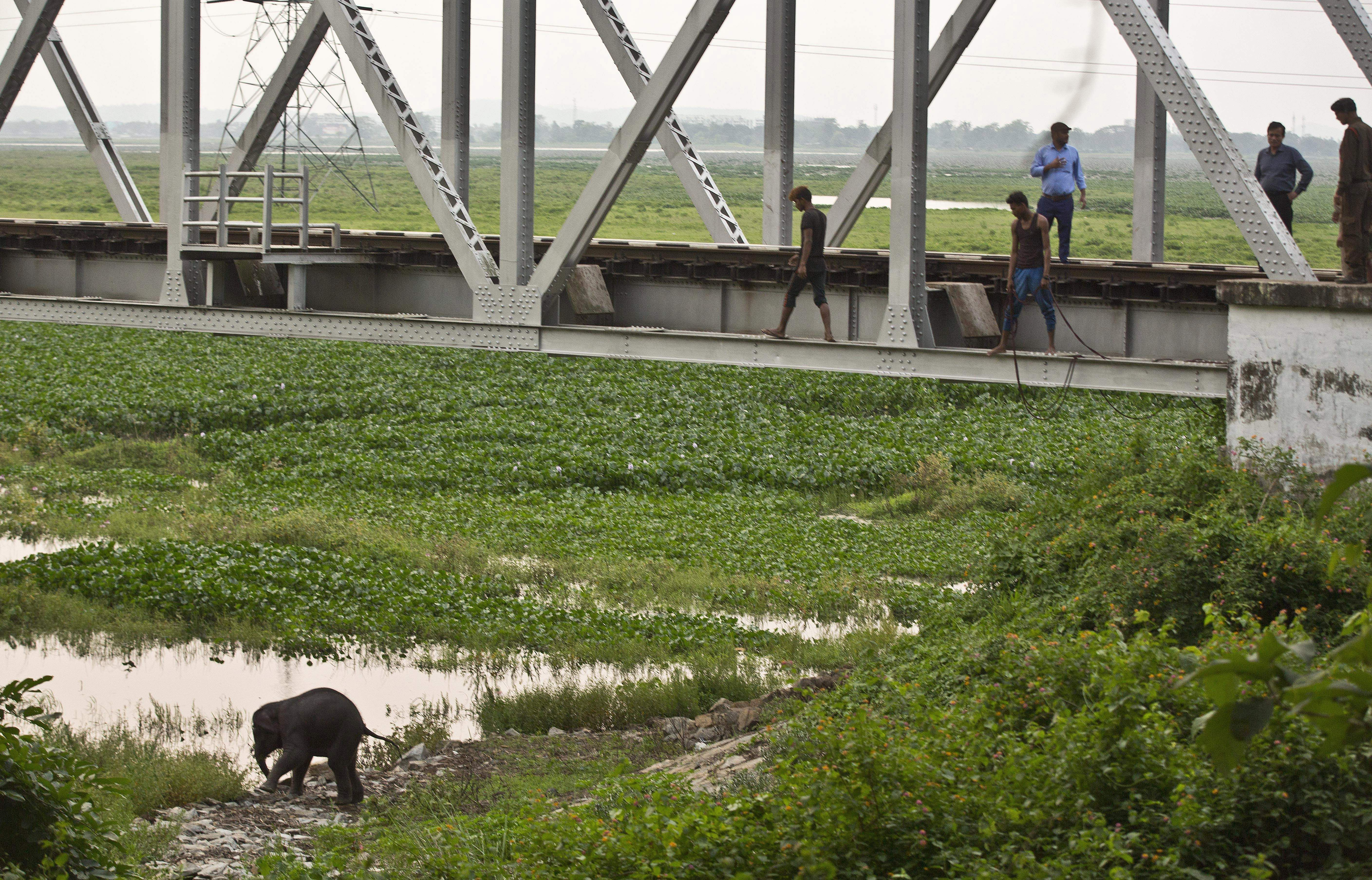 A baby wild elephant crosses the water to return to the forest at Deepor Beel wildlife sanctuary in Gauhati.