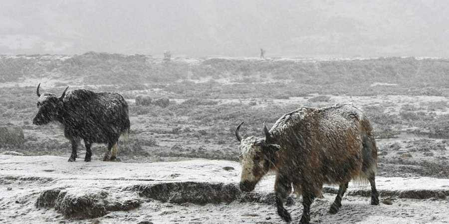 This photograph taken on April 26, 2018, shows Yaks during a snowfall at Phireche village in the Everest region, some 140kms northeast of Nepal's capital Kathmandu. (File | AFP)