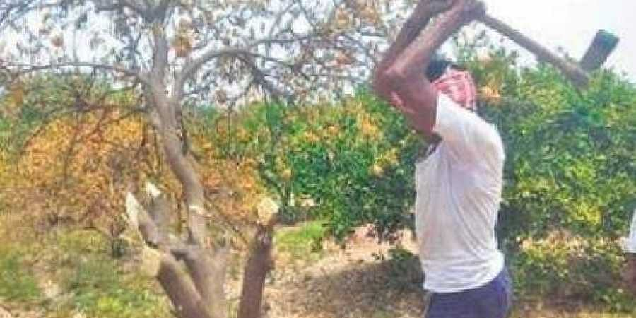 A sweet lime grower in Mukundapuram village in Garladinne mandal of Anantapur district in Andhra Pradesh. (Photo | EPS)