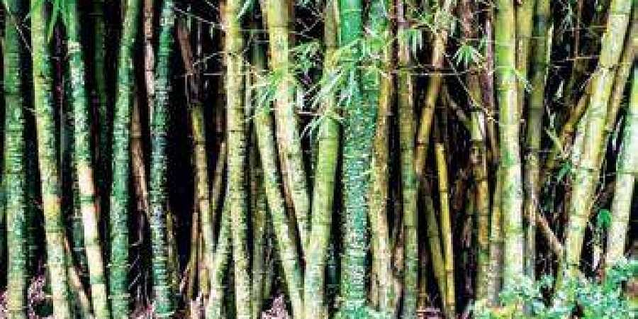 Telangana government to encourage bamboo cultivation- The New Indian