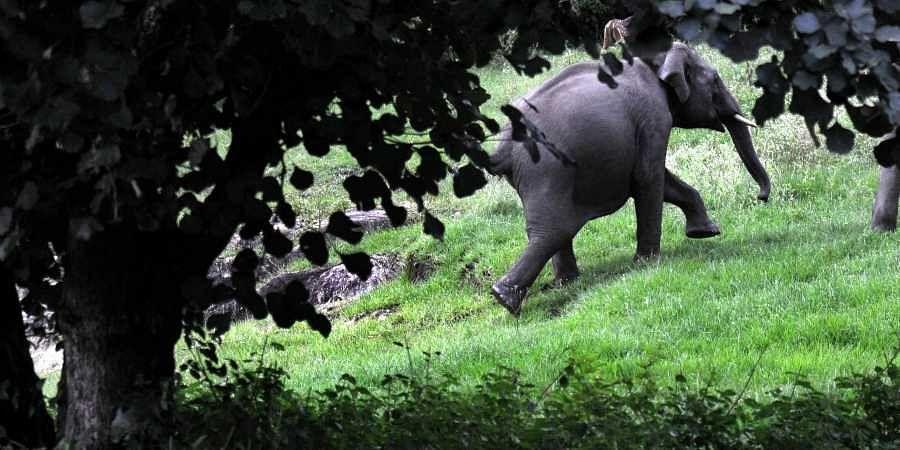 Jumbo, elephant