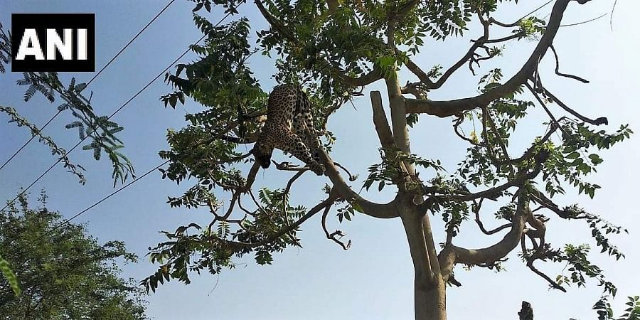 Leopard dies due to electrocution in Mandawar village in Gurugram district's Sohna.