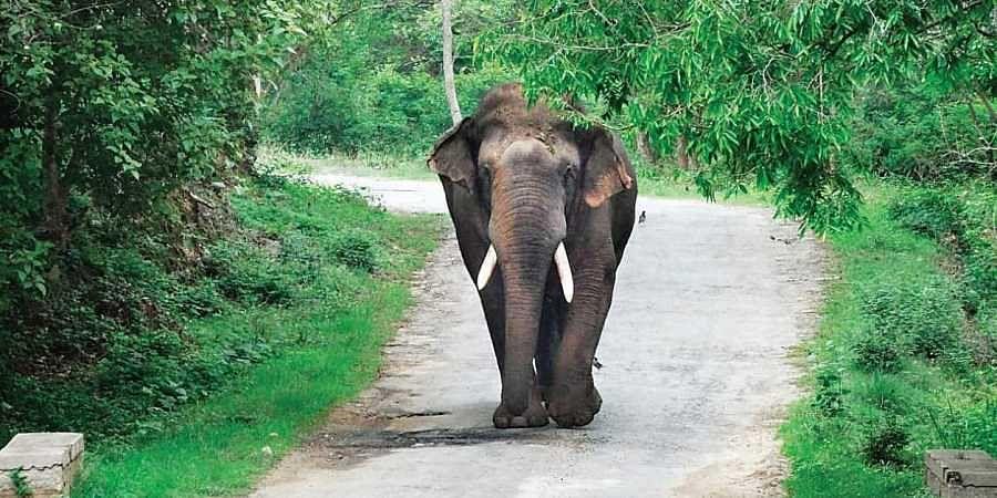 Karnataka_elephant_Ranga