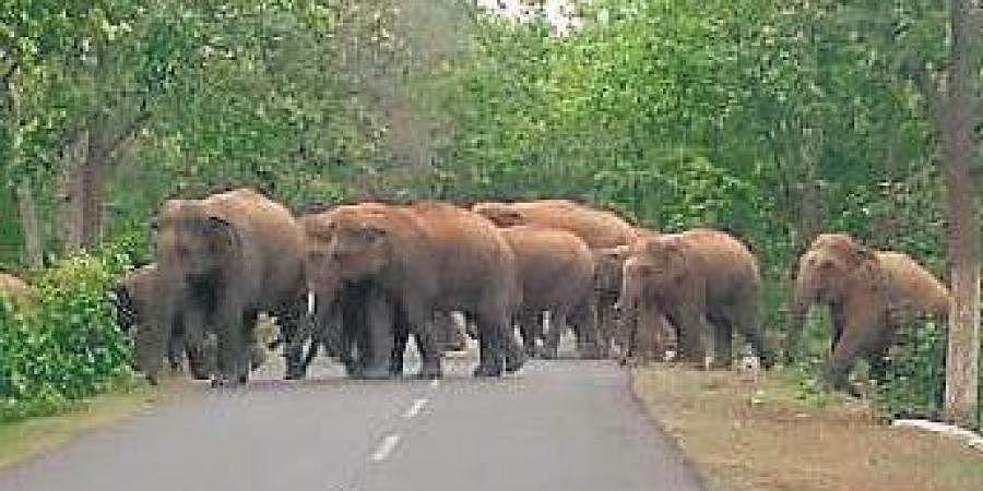 Elephants in Kuldiha sanctuary in Balasore.