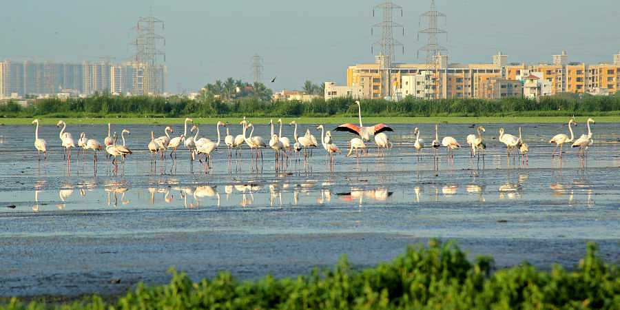 Flamingoes at Pallikaranai
