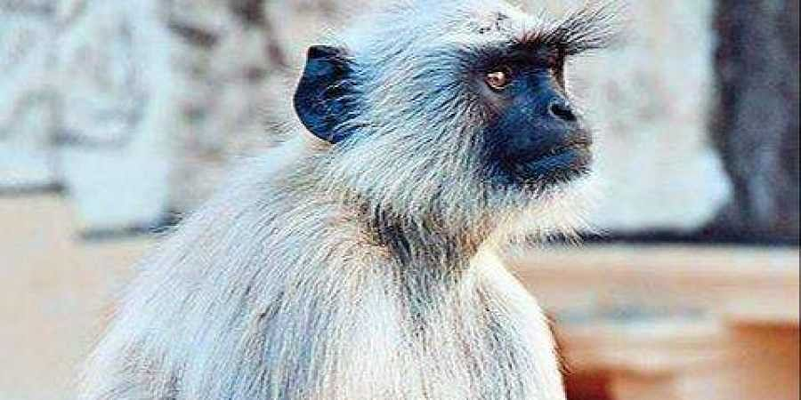 The Minister of Environment and Forest banned keeping langurs as pets since the animal faced extinction and was a protected species under Wildlife Protection Act, 1972.
