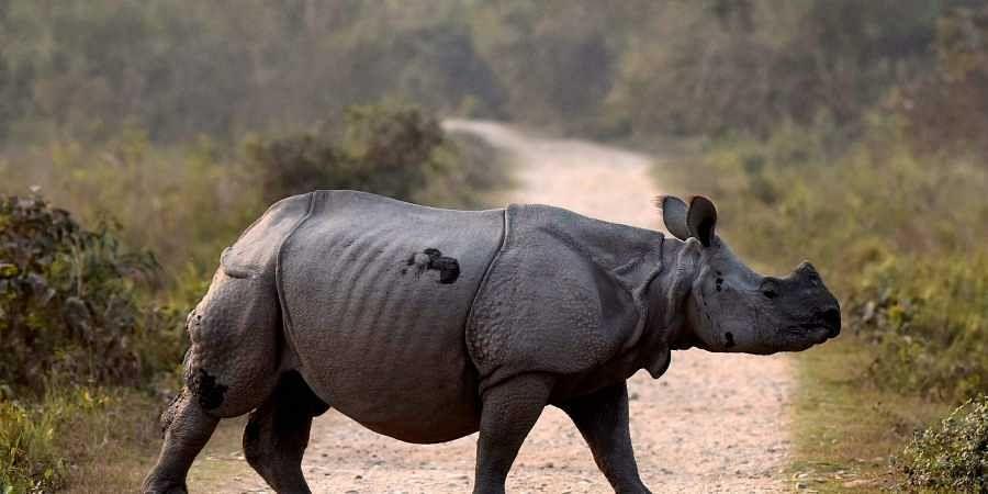 Rhino, Kaziranga National Park