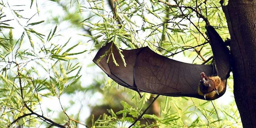 Bat A Poorly Stud Mammal The New Indian Express