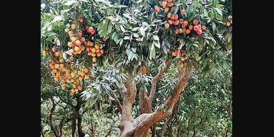 A litchi orchard in Bihar. (Photo | EPS)