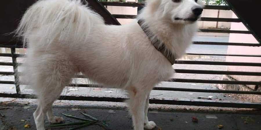 Pomeranian, abandoned dog