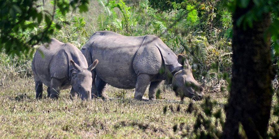 rhinos, kaziranga