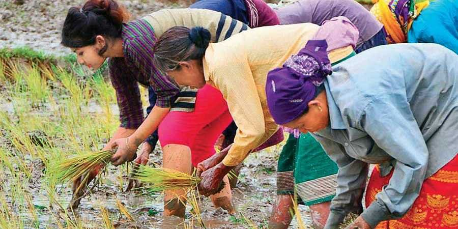 Villagers plant paddy for elephants in Ronghang-Hatikhuli in Assam