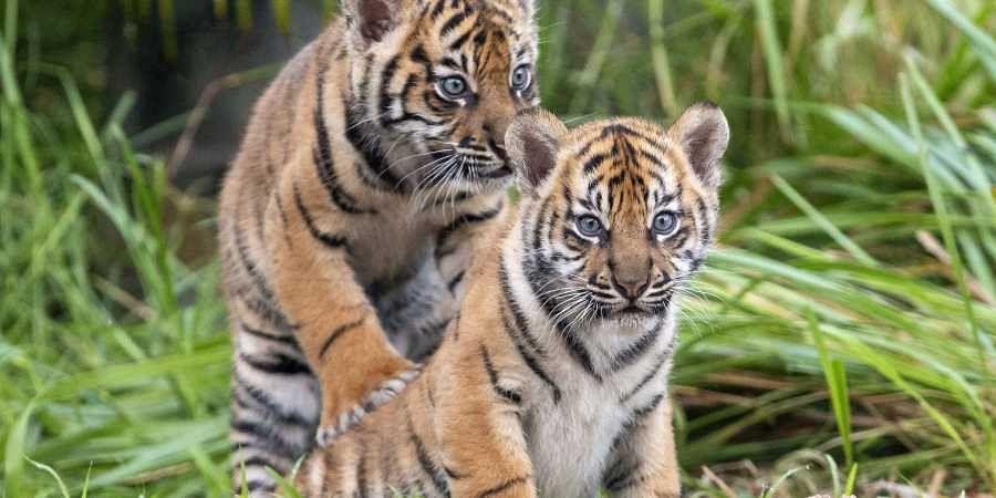 Tiger cub at BBP named in honour of Hima Das