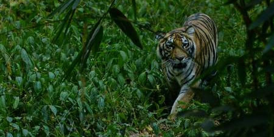 A female tiger at the Tholpetty forest in Wayanad.