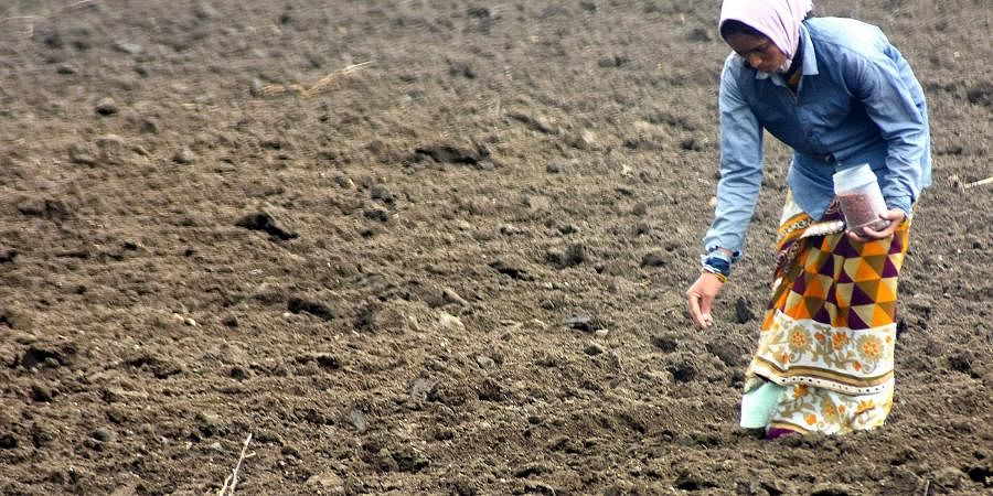 A women farmer seen sowing the seeds as a first step of farming in Karimnagar