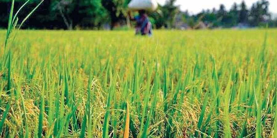 Kharif crop, rice