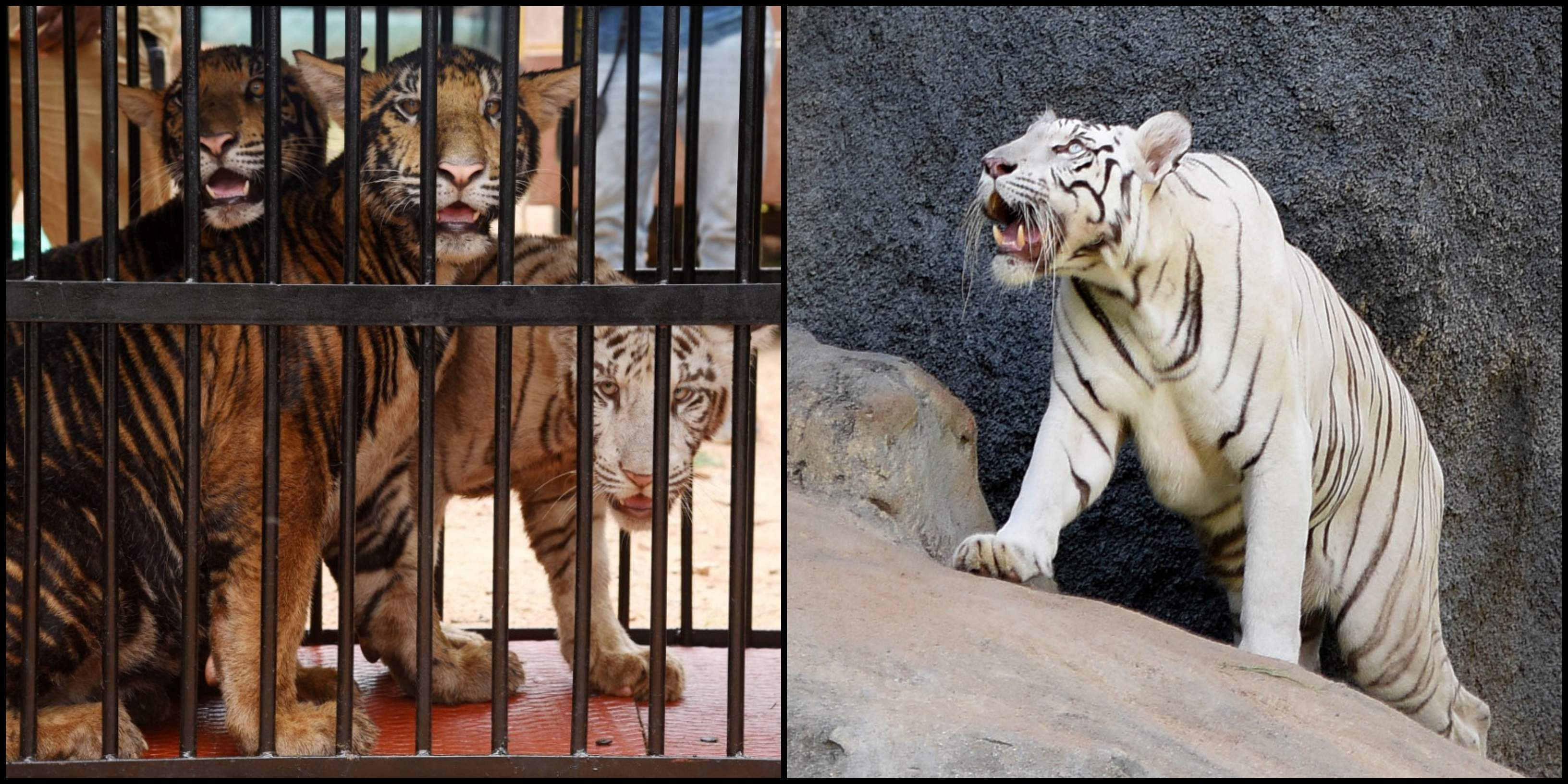 IN PICS | Chennai's Vandalur Zoo home to cute white tiger and lion