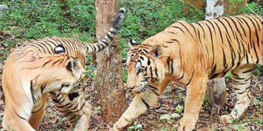 MM Hills Wildlife Sanctuary will be the 51st tiger reserve in the country